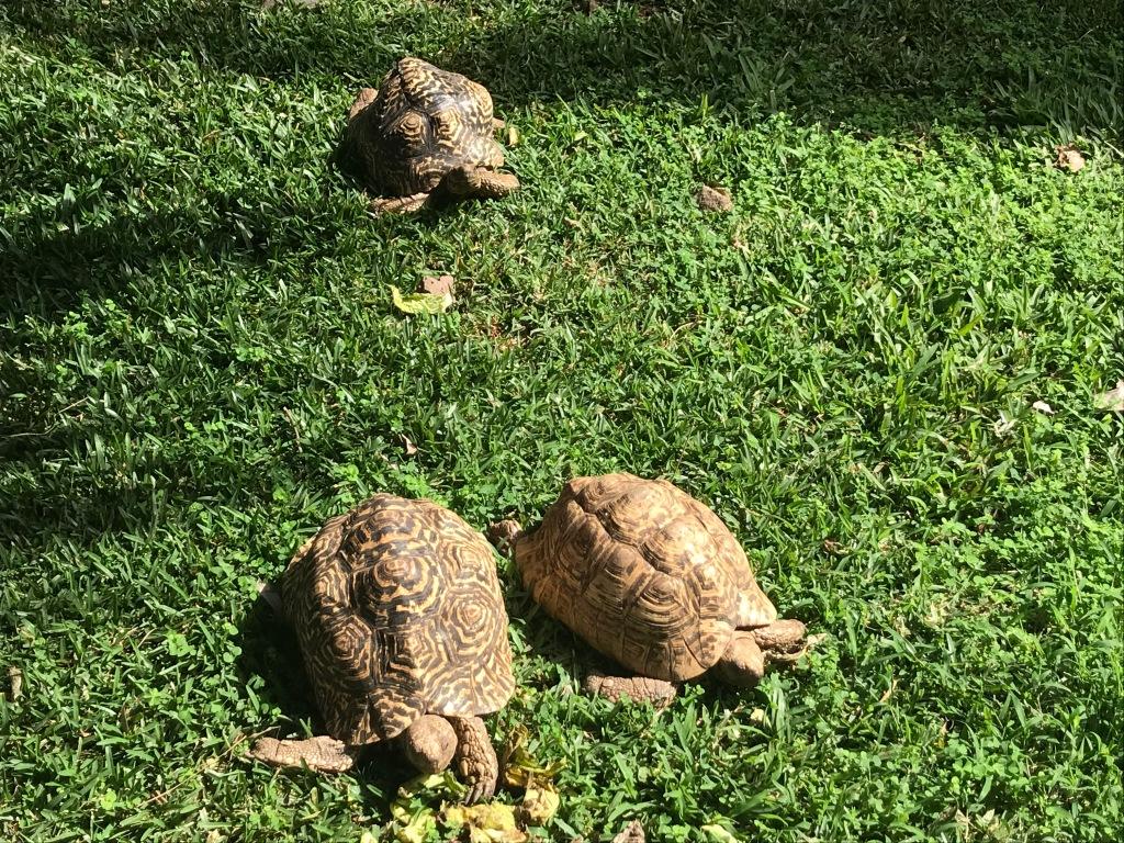 jardin des tortues les avirons -Tortue léopard