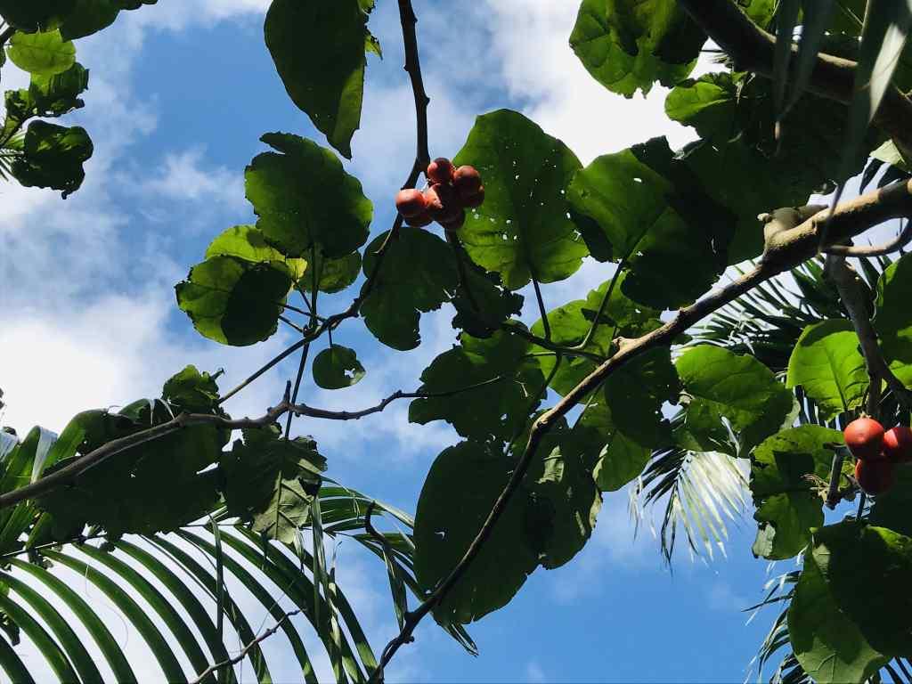 Tomate arbuste sur l'île de la Réunion - les avirons