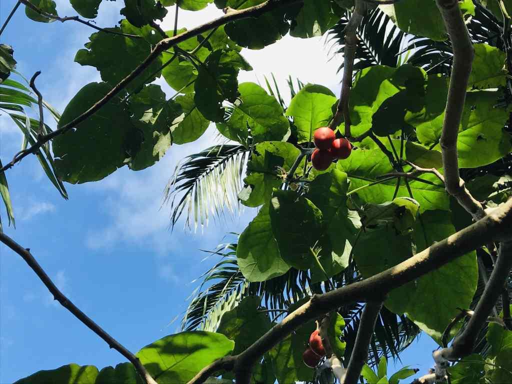 Tomate arbuste sur l'île de la Réunion