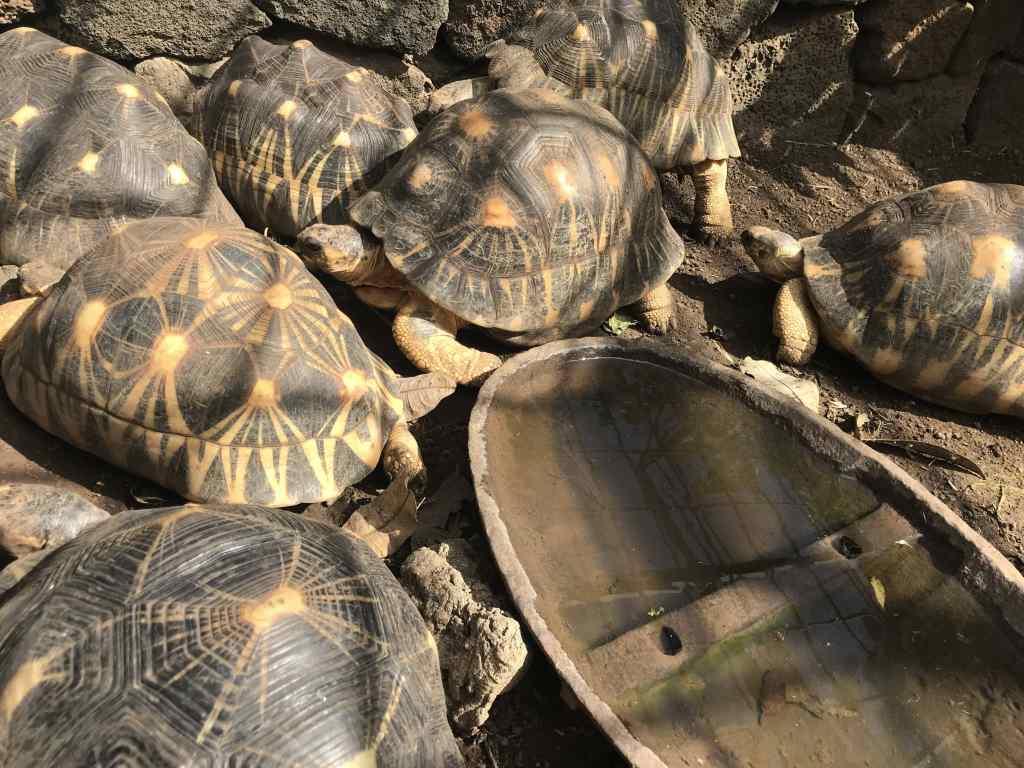 Tortues étoiles de Madagascar - Jardin des tortues les avirons