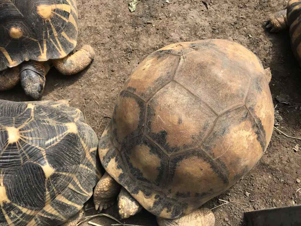 Tortues étoiles de Madagascar - Doyenne du Jardin des tortues les avirons